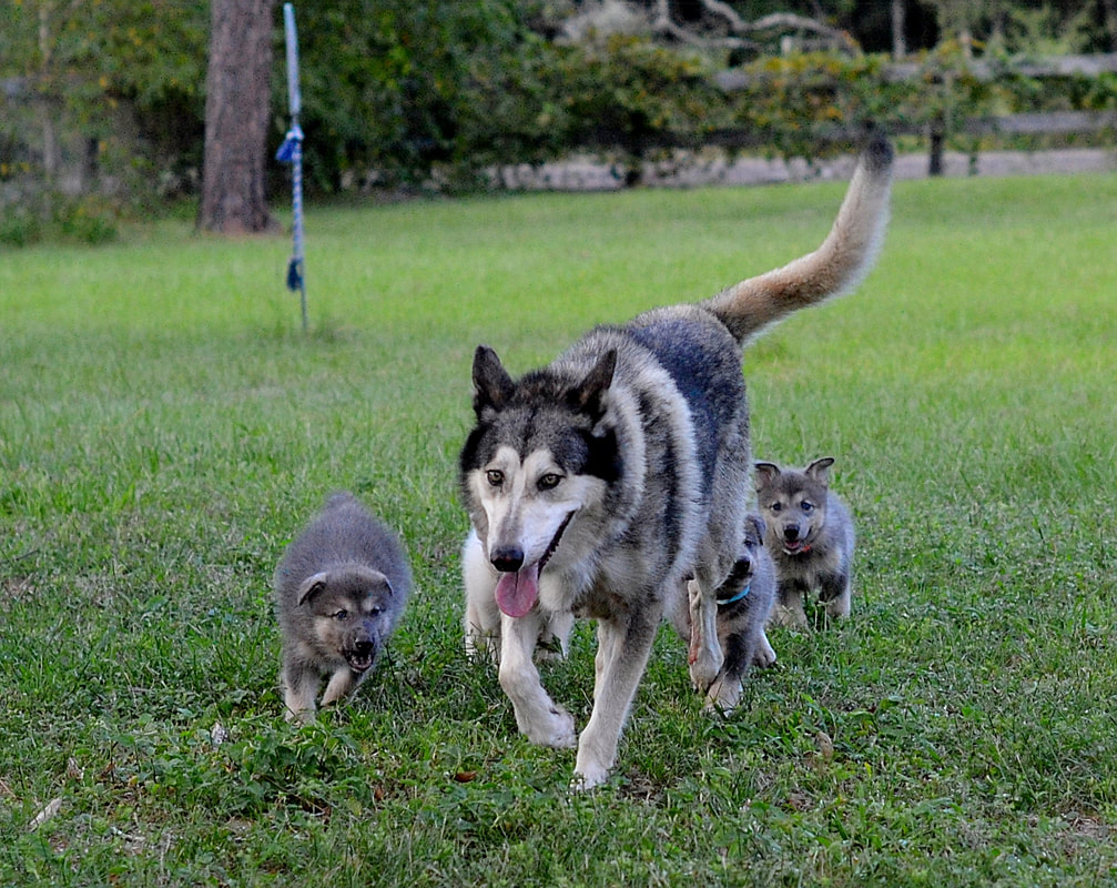 Wolfdog Puppy Love Wolfdog Wolf Hybrid Puppies For Sale In Florida