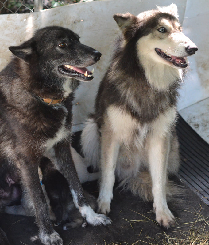 parents wolf dogs
